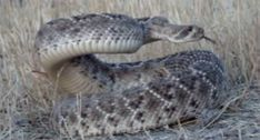 A Bowhunter is About to Do Something Crazy to This Rattlesnake [VIDEO] - Wide Open Spaces Rattlesnake Bites, Kill It With Fire, Shooting Video, Outdoor Store, Deer Hunting, Bows, Open Spaces, Video Picture, Snakes