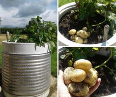 Old washing machine drums make great planters for easy-care vegie growing. First harvest from the potato patch. Reuse, Upcycle, Washing Machine Drum, Country Life, Tortoise, Garden Plants, Drums, Harvest, Potato
