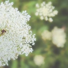 queen anne's lace- too white, I don't want any white in the flowers
