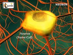 Neurons or nerve cells - Structure function and types of neurons