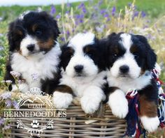 134 Best Bernedoodles Images Bernedoodle Puppy Dogs Puppies