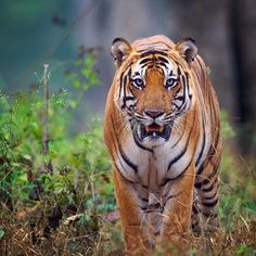 Tap image for travel information - Tiger encounters in India  Travel information below    Nagarahole National Park India.  Oct-May is best for wildlife.   @travelsiteindia to book a tour.  @mithunhphotography for more awesome photos!   # Search for similar experiences by hashtag - #earthoffline #indiaoffline #wildlifeoffline