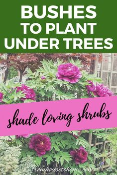 Find out which bushes to plant under trees in the shade garden in your backyard or front yard. These shrubs will help to brighten up your yard. #fromhousetohome #bushes #shade #gardeningtips #gardening #gardenideas Shade Loving Shrubs, Shade Shrubs, Shade Garden Plants, Shade Perennials, Garden Trees, Garden Bed, Flowering Plants For Shade, Tall Shade Plants, Shaded Garden