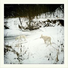 Writer Neil Gaiman white shepherds Cabal & Lola