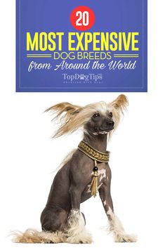 20 Most Expensive Dog Breeds from Around the World. Some of the most expensive dogs are so costly most of us wouldn't even look twice into purchasing one. The more obscure and rare dogs can cost upwards of $10,000, and that's not including veterinary care, food and all the supplies your new pet will need. The most expensive dog breeds might be worth it to some, but pet owners on a budget should probably choose low-cost dogs. #dogbreeds #dogs #breeds #expensive #budget #money #finances #cheap…