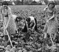 "Shop assistants from Boots the Chemist hoeing and weeding a field of mangold in 1942 - part of the ""Dig for Victory"" campaign."