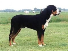 Greater Swiss mountain dog  Life span: 10 to 11 years  Color: Tri-color  Origin: Switzerland  Temperament: Alert, Good-natured, Devoted, Fearless, Protective, Self-Confident  Height: Male: 26–28 inches (65–72 cm), Female: 24–27 inches (60–68 cm)