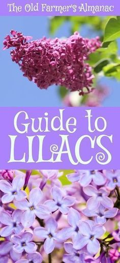 The Complete Old Farmer's Almanac guide to Lilacs: How to plant, grow, and cultivate Lilacs. Information for Lilacs on !The Complete Old Farmer's Almanac guide to Lilacs: How to plant, grow, and cultivate Lilacs. Information for Lilacs on ! Garden Shrubs, Garden Landscaping, Garden Plants, House Plants, Potager Garden, Roses Garden, Fruit Garden, Organic Vegetables, Growing Vegetables