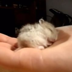Who says hamsters just eat and run on wheels all day? They also snore (apparently), making them the cutest pocket-sized pet we can think of. You'll want to watch this video at least five times.