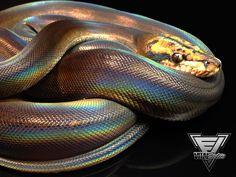 golden child motley platinum reticulated python - Google Search