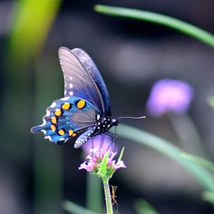Types of Butterflies - Butterflies are one of the most adored insects for their enchanted beauty and representation of good luck and positive change. Types Of Butterflies, Flying Flowers, Butterflies Flying, Butterfly Kisses, Butterfly Flowers, Blue Butterfly, Beautiful Bugs, Beautiful Butterflies, Butterfly Pictures
