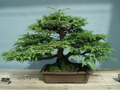 "Sequoia sempervirens (California redwood) ""Informal Upright"" style bonsai tree from the Brooklyn Botanic Garden."
