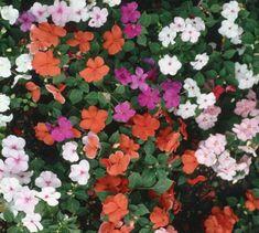 Flower Essence Gallery: Impatiens