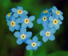 forget-me-knot.jpg (313×260)