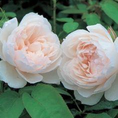 The Generous Gardener - David Austin Roses