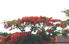 Poinciana tree