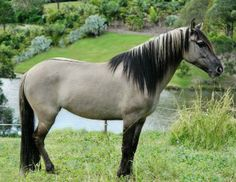 Spanish Mustang mare, Grey Feather. She's grulla with amazing primitive markings.