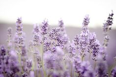 Lavender... reminds me of a fellow who took my heart hostage... he use to always bring me lavender flowers...