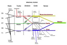 Brachial Plexus Injury Nerve Chart - not as patient friendly but might be useful as a visual aid at doctor appointments