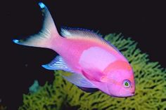 Google Image Result for http://www.dailygalaxy.com/photos/uncategorized/2008/04/23/pinkfish.jpg