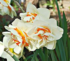 """Fluffy and Gorgeous """"Flower Parade"""" Narcissus"""