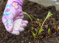 Внесение борной кислоты под садовую землянику (клубнику)