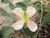 Κάπαρη-Capparis spinosa Garden, Flowers, Plants, Garten, Flora, Planters, Royal Icing Flowers, Outdoor, Flower