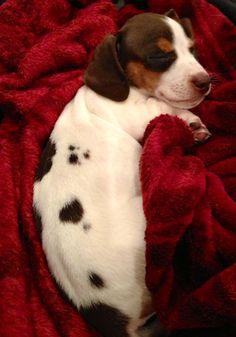 2 pound dachshund puppy #Dachshund #DogCutest