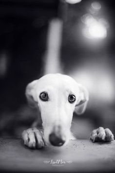 Nika - Nika: The most dramatic face asking for a biscuit ? I don't tend to do black and white, but this one was really calling for it! Cute Puppies, Cute Dogs, Dogs And Puppies, Animals And Pets, Funny Animals, Cute Animals, Puppy Pictures, Animal Pictures, Grey Hound Dog