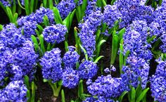 Bulbos de otoño Blue Flowers, Plants, Valentines Day Weddings, Horticulture, Landscaping, Blue Nails, Plant, Planets