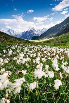 Cotton field, in the alps