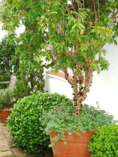 Como cultivar frutíferas em varandas
