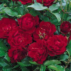 Rosa 'Marlena'