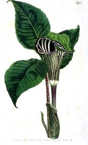 Botanical - Leaf - Flower - Pitcher plant - Zebra flower