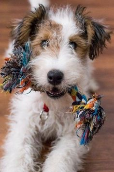 I Like My Toy ~ Wanna Play? by patrice Chien Fox Terrier, Wirehaired Fox Terrier, Welsh Terrier, Dog Pictures, Animal Pictures, Pet Dogs, Dog Cat, Doggies, Cute Puppies