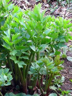 Lestyán, mint gyógynövény - Nagyanyáink titkos fűszere - Egészségtér - Természetes egészség