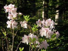 """Rhododendron schlippenbachii """"Kuningasatsalea"""" kuva jsaarinen. Omassa metsässä Nikin haudalla. Plants, Plant, Planets"""