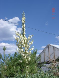 Herriman yucca These are very happy in a dry landscape. I haven't observed mine flowering every year, but they are frequent flower-ers. Drought Tolerant Shrubs, Colorado Plateau, Great Basin, Irrigation, Outdoors, Landscape, Happy, Garden, Flowers