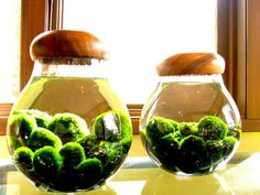 Marimo moss balls - These adorable, soft velvety little guys are actually a rare form of freshwater algae. Legend has it, they will bring you love, Aquatic Plants, Air Plants, Garden Plants, Indoor Plants, Indoor Herbs, Cactus Plants, Indoor Water Garden, Indoor Gardening, Small Gardens