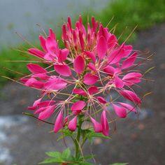 50+ Cleome Rose Queen Flower Seeds - Under The Sun Seeds  - 1