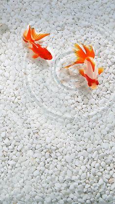 【新着2位】金魚 | 和のテイストが美しいiPhone壁紙