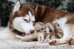 Haski Dog, Baby Animals, Cute Animals, Newborn Puppies, Pregnant Dog, Siberian Husky Dog, Animal Facts, Mother And Baby, Dogs Of The World