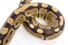How to Tan a Snake Skin So It Is Still Flexible