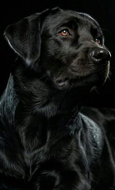 Majestuoso (English Chocolate Lab)