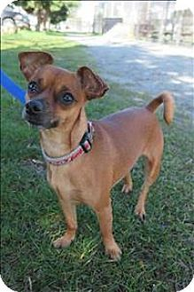 West Vancouver, BC - Chihuahua/Miniature Pinscher Mix. Meet Pixie, a dog for adoption. http://www.adoptapet.com/pet/15159277-west-vancouver-british-columbia-chihuahua-mix