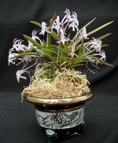 Neofinetia falcata Hybrid