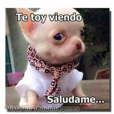 Your kids are nice, BUT have you seen my chihuahua?Funny chihuahua T-Shirt Animals And Pets, Baby Animals, Funny Animals, Cute Animals, Mexican Funny Memes, Funny Spanish Memes, Spanish Quotes, Bulldogs, Funny Phrases