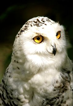 The Owl that calls upon the Night,