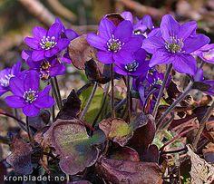 Blåveis, Blåsymre Hepatica nobilis Liverleaf (Blue anemone) Blåveis