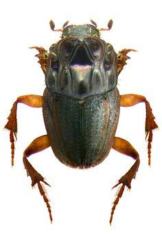 Drepanocerus abyssinicus